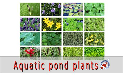 Aquatic pond plants for Sale - Japanese Koi Importer ...