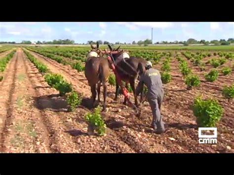 Arado con mulas, una tradición que recuerdan en Tomelloso ...