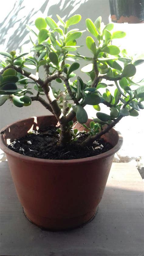 Arbol Planta Jade Crassula Bonsai Feng Shui - $ 150,00 en ...