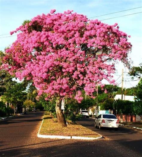 Arboles Plantas De Lapachos Altas!!! + Abono   $ 1.450,00 ...