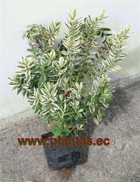 Arbustos en www.plantas.ec - plantas, hierbas y arboles en ...