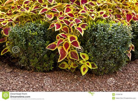 Arbustos ornamentales foto de archivo. Imagen de imagen ...