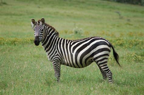 Archivo:Equus quagga.jpg - Wikipedia, la enciclopedia libre
