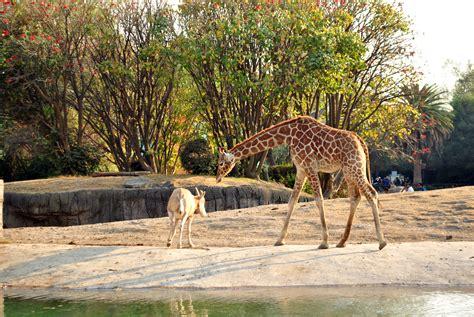 Archivo:Jirafa y gacela Zoológico de Chapultepec.jpg ...