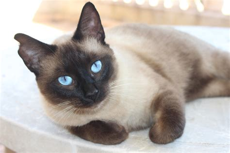 Archivo:Ragdoll Blue Eyes Cat.JPG - Wikipedia, la ...