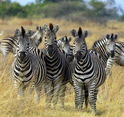 Archivo:Zebra Botswana edit.jpg - Wikipedia, la ...