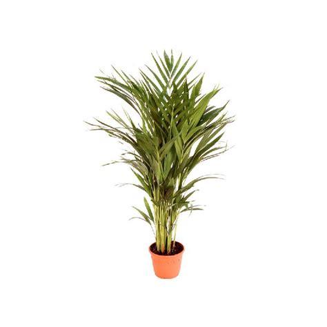 Areca Planta de Interior   Comprar