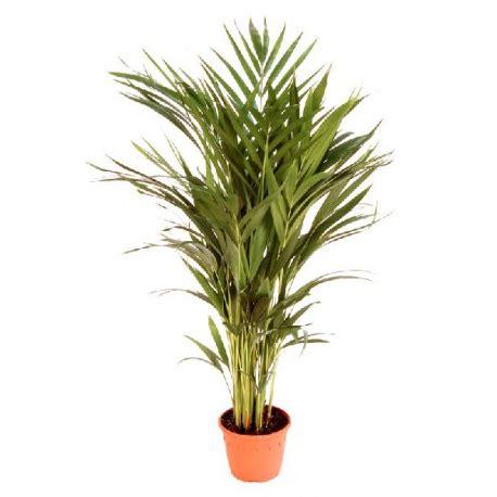 Areca Planta de Interior | Comprar