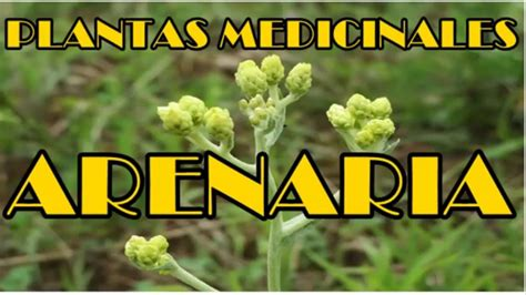 Arenaria Propiedades, Arenaria, Planta Medicinal - YouTube