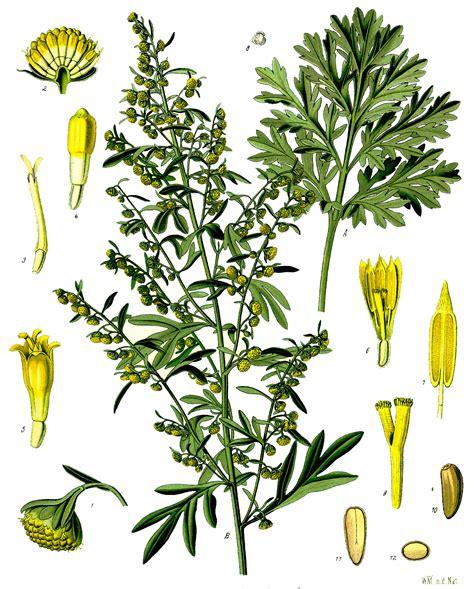 Artemisia absinthium - Wikipedia, la enciclopedia libre