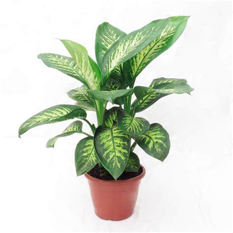 As plantas mais comuns em casas e apartamentos que são tóxicas