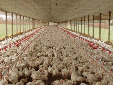 ASOHUEVOS se opone a la importación de pollos - Cachicha.com