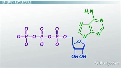 ATP: Definition & Molecules - Video & Lesson Transcript ...