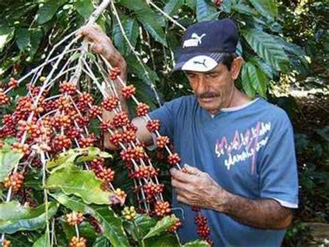 Aumenta Cienfuegos siembra de café en Guamuhaya