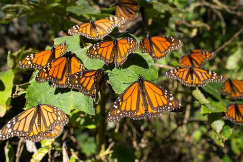 Aumenta la superficie ocupada por la mariposa monarca en ...