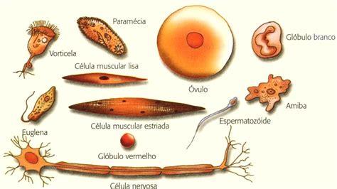 AVALIANDO: A célula: diferentes tipos e o microscópio