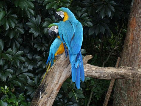 Aves bonitas, várias especies são coloridas   Só Detalhe