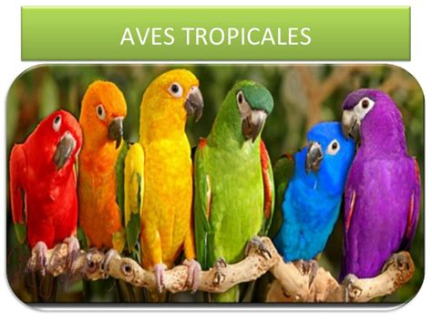 Aves conny