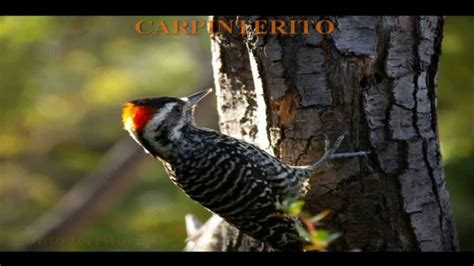 AVES DE CHILE   CANTOS  1/2    YouTube