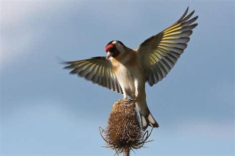 Aves de España: Jilguero  Carduelis carduelis