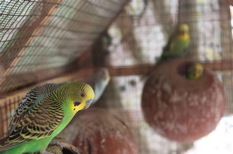 Aves exóticas domésticas   webanimales.com