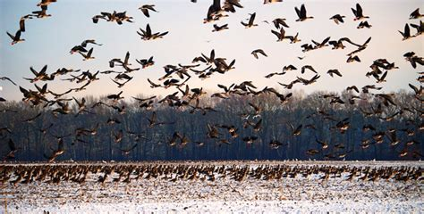 Aves migratorias   Actualidad Medio Ambiente