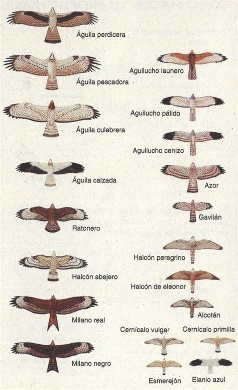 Aves Rapaces: Aves Rapaces Ibéricas Diurnas