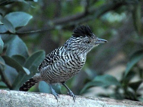 Aves Urbanas Brasileiras | Animais   Cultura Mix