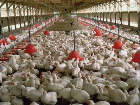 Avian Flu Alert in Belize; mass bird killing in Mexico ...