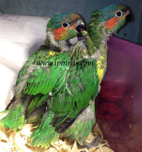 Baby Exotic Birds For Sale