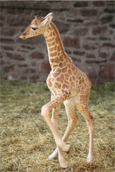 baby giraffe | Flickr - Photo Sharing!