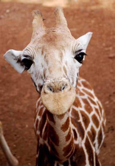 Baby Giraffe - Images Animal