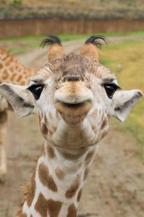 Baby giraffe kisses