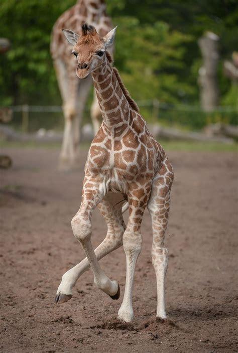 Baby giraffe wallpapers   Baby Animals