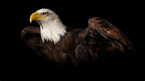 Bald Eagle Wallpaper HD Images – One HD Wallpaper Pictures ...