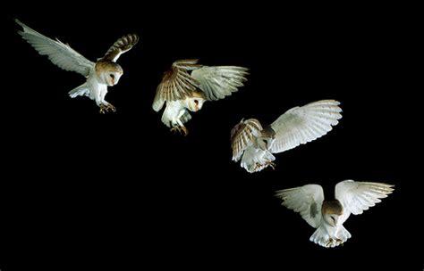 Barn owl landing sequence   Tyto alba   Not a single ...