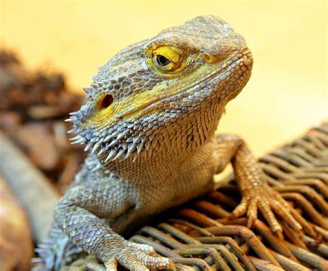 Bearded Dragon Reptile · Free photo on Pixabay