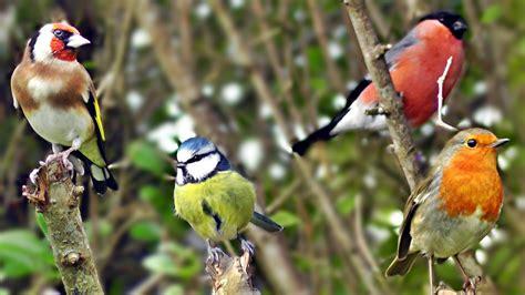 Beautiful Birds Chirping & Singing in The Hedge   Robin ...
