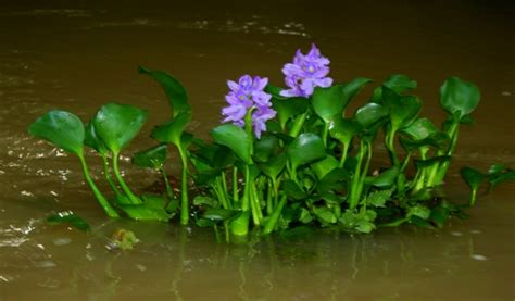 Beautiful, but invasive, floating plant on the ...