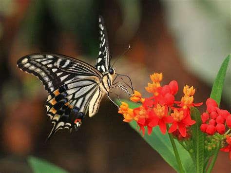Beautiful Butterflies - Butterflies Wallpaper (9481998 ...
