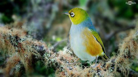Beautiful Rare Wax Eye Bird HD Wallpaper BigHDWalls Most ...