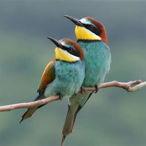 Bee-Eaters There are about 25 species of bee-eaters found ...