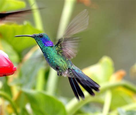Bellas Aves de El Salvador: Colibri thalassinus (colibrí ...