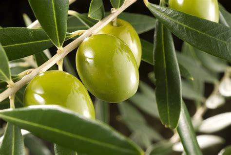 Beneficios de comer aceitunas « Aceitunas Serpis Blog