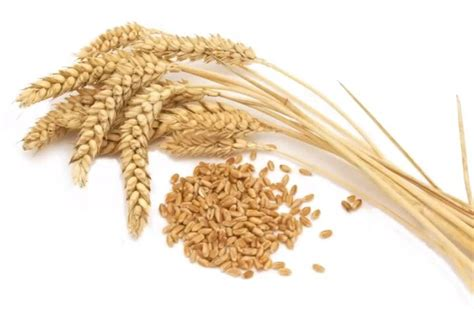 Beneficios de la cebada y sus sorprendentes propiedades ...