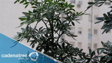Beneficios de la ruda / Ruda, planta medicinal - YouTube