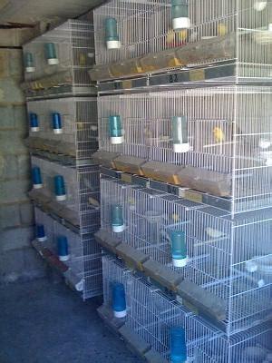 Beniarbeig Canarios y jaulas Alicante   3