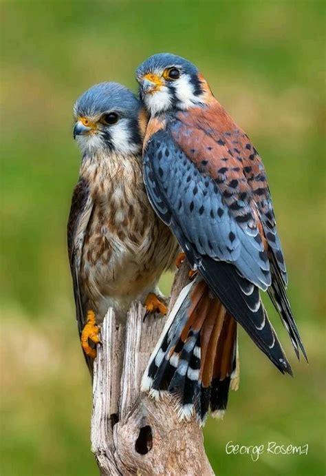 Best 25+ Birds of prey ideas on Pinterest   Raptors, Hawks ...