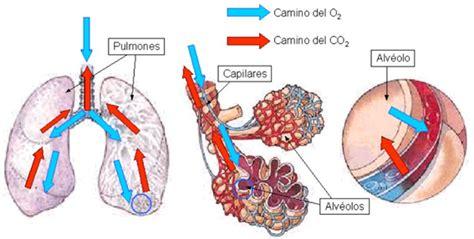 BIOFÍSICA: Intercambio de gases.