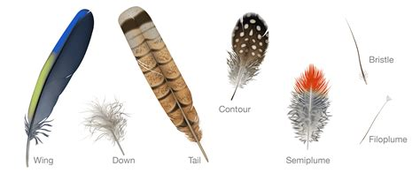 Bird_Biology-feather_types_wing_down_tail_down_contour ...